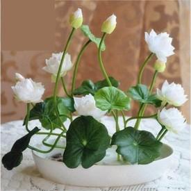 Airex Lotus Flower Seeds (12 Per Packet) Seed(12 per packet)