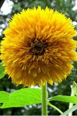 Seedlings India Sunflower Teddy Bear Hybrid Seed
