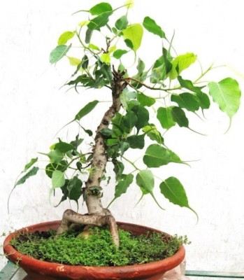 Saaheli Peepal Tree Bonsai Seed(10 per packet)