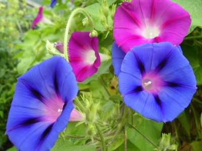 Farm Seeds Morning Glory Impomea Creeper Seed