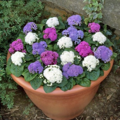 Saaheli AGERATUM BALL MIX Seeds Seed