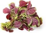 Farm Seeds HYBRID RED AMARANTHUS Seed (5...