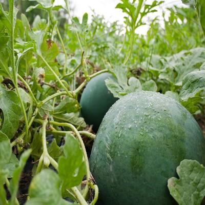 Biocarve Watermelon Sugar baby Seed