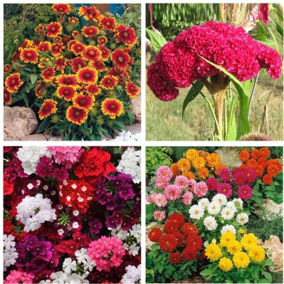 Real Seed Flower Seeds Combo Pack - Giallardia Mixed, Cockscomb, Verbeena Mixed and Dahlia Mixed Flower Seeds Seed
