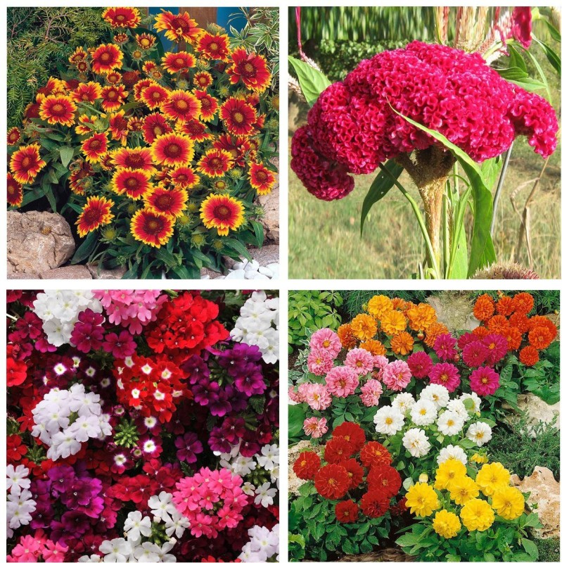 Real Seed Flower Seeds Combo Pack - Giallardia Mixed, Cockscomb, Verbeena Mixed and Dahlia Mixed Flower Seeds Seed(4 per packet)