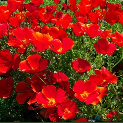 Saaheli Flower California Poppy Red Seeds Seed