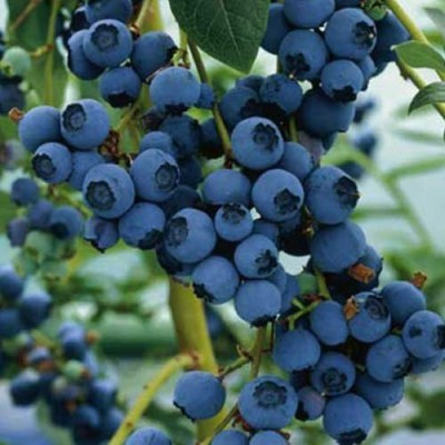 Futaba Bonsai Blueberry Seed