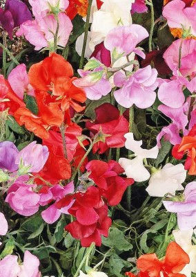 Real Seed Clarkia Hybrid Imported Seed