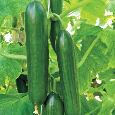 Raunak Seeds Cucumber Beit Alpha Imported 3gm Seeds Seed