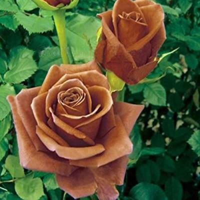 Futaba Coke Rose Seed