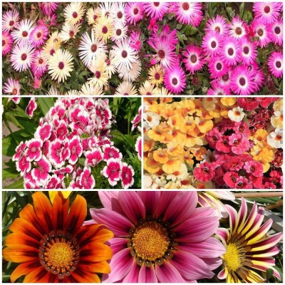 Biocarve Elegant Showy Flower Kit Seed