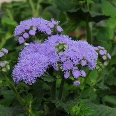 Saaheli Ageratum Ball Purple Seed