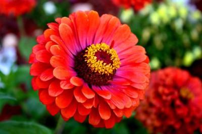Saaheli Zinnia Flower Seed