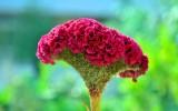 Farm Seeds Cockscomb Jewel Box Seed (100...