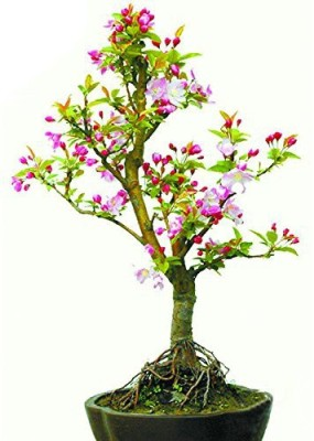 Futaba Pink Begonia Flower Seed