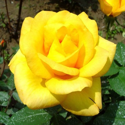Futaba Yellow Rose Flower Seed
