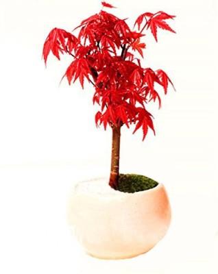 Futaba 523Red maple Seed
