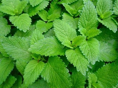Agricart Lemon Balm Seed(50 per packet)