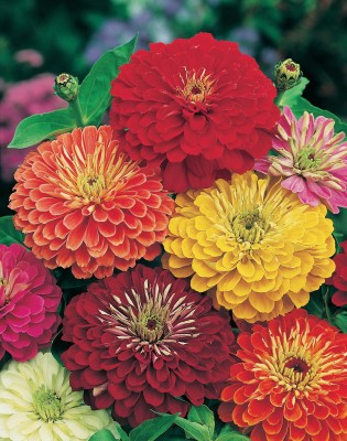aapkidukan Zinnia Lilliput Mixed Seed(100 per packet)