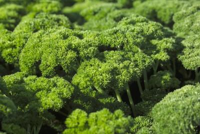 Farm Seeds HYBRID PARSLEY MOSS CURLED Seed