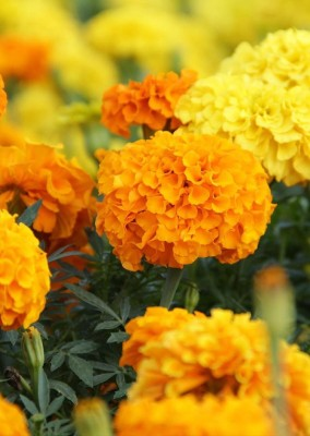 Real Seed Marigold Orange Bunch F1 Hybrid Imported Flower Seeds Seed