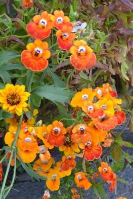 Seedlings India Nemesia Carnival Mix Hybrid Seed
