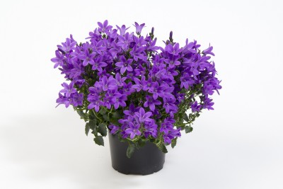 saaheli Campanula (Bell flower, Canterbury bells) – Cup and Saucer Mixture Blue Seed(10 per packet)