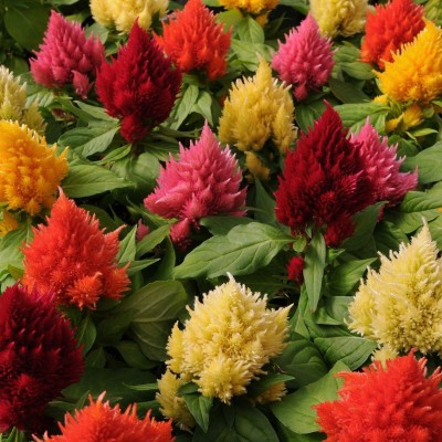 Farm Seeds Celosia Mixed Seed