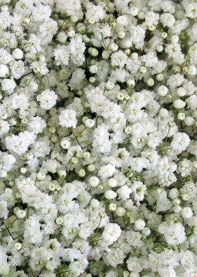 Real Seed Gypsophila Snow White Hybrid Imported Flower Seeds Seed