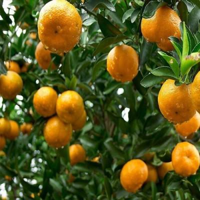 Futaba Bonsai Tangerine Citrus Fruit Seed