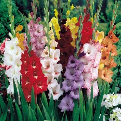 Agricart Gladiolus Seed(10 per packet)