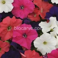 Biocarve PanAm Petunia Supercascade Mix Seed(100 per packet)