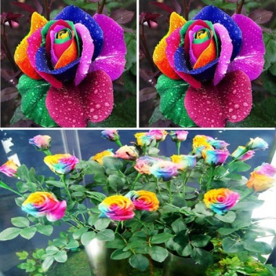 Priyathams Bonsai Rainbow Rose plant Seed(20 per packet) at flipkart