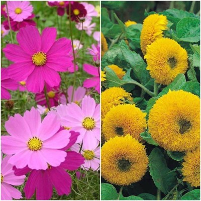 Biocarve Summer flower kit for Borders pack of 2 Seed