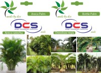 DCS Areca Palm & Bottle Palm (2 Packet of Seeds) Seed(20 per packet)