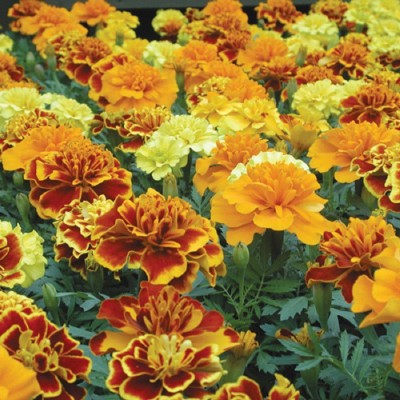 Biocarve Tagetes Erecta French Mix (Gulzafri) Seed