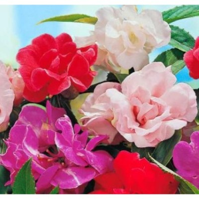 E-Plant Roses mix Seed(20 per packet)