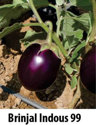 Indous Agriseeds Indo us 99 F1 Hy. Eggplants 2400 Seeds Per Packet Seed