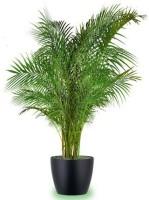 Seedlings india Areca palm Hybrid Seed(20 per packet)