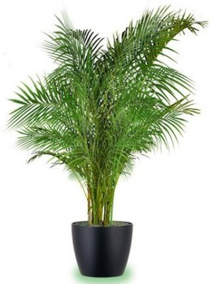 Seedlings india Areca palm Hybrid Seed