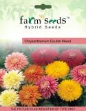 FARM SEEDS Chrysanthemum Double Mixed 2 ...