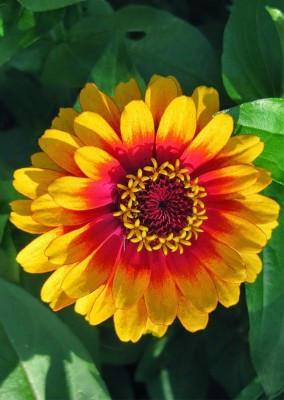 Real Seed Zinnia Giant Mixed F1 Hybrid Seed