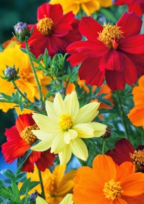 Real Seed Cosmos Bright Light Mixed Flower Seed