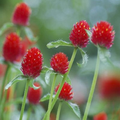 Biocarve Gomphrena Strawberry Field Seed