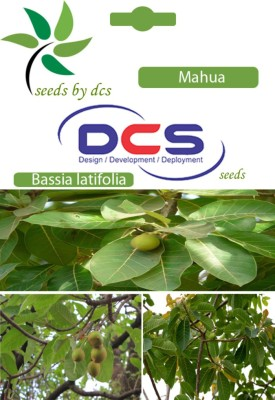 DCS Mahua Forest Plant (10 Seeds Per Pack) Seed