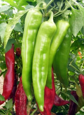 Raunak Seeds Hot Pepper Chilli Achari Hyrbid, 5gm Seed