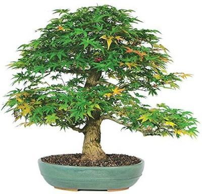 Futaba Japaense Maple Seed