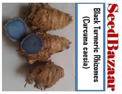 SeedBazaar Rhizomes of Black Turmeric (Curcuma caesia) Seed