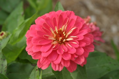 Farm Seeds Zinnia Double Pink Seed