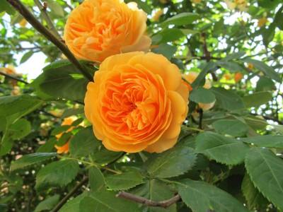 Saaheli Climbing Rose Orange Seed